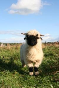 Schafe in der Lewitz