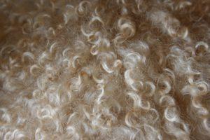 Wolle - Locken vom Walliser Schwarznasenschaf