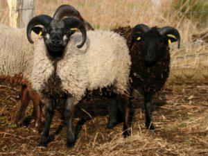 Shetlandschafe Finlay und Fjell