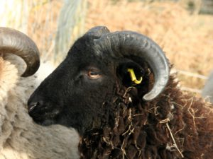 Shetlandschaf Fjell